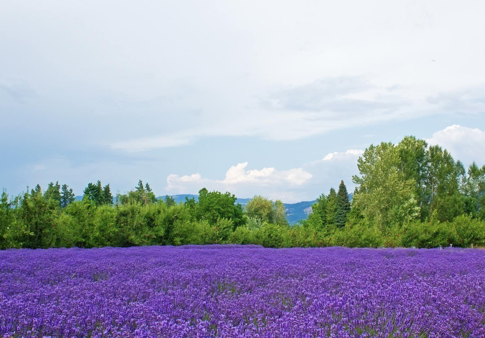 حقول اللافندر في لندن | حديقة و مزرعة حدائق Lavender